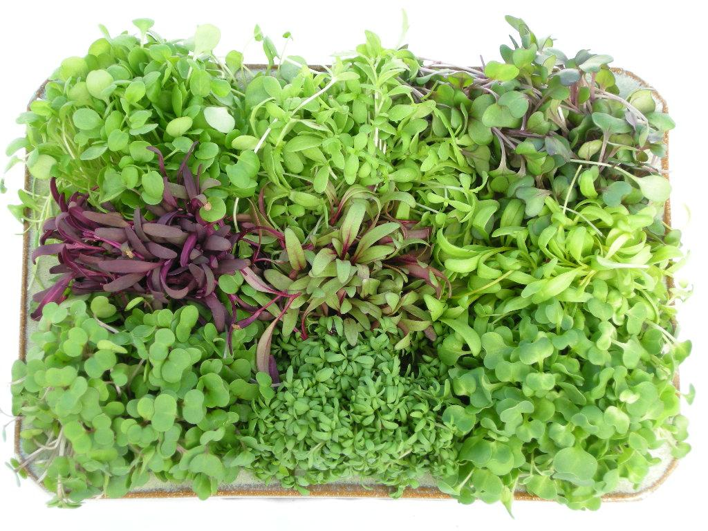 tips for growing microgreens welcome to todd s seeds