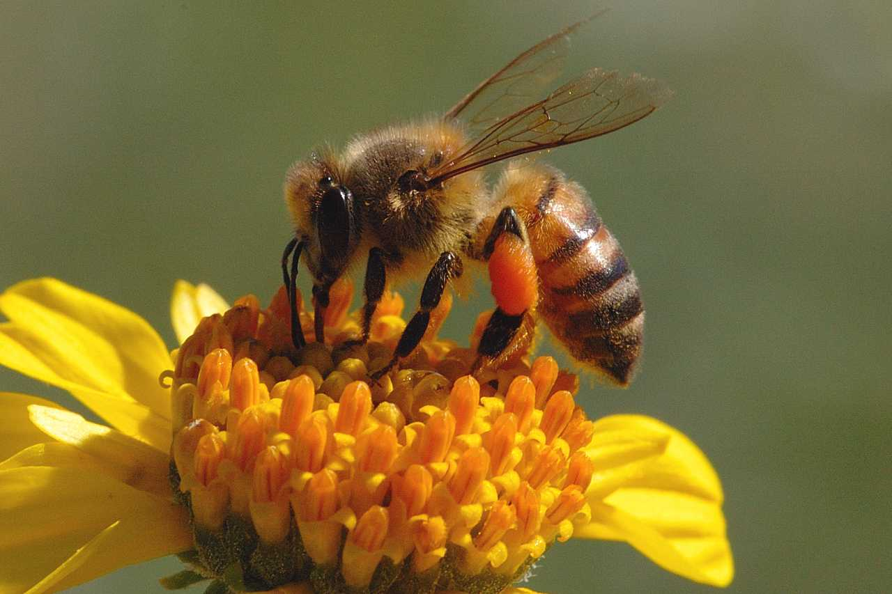 the important role of bees in the pollination of fruits vegetables and trees The importance of pollinators   crops, ranging from tree nuts and fruits, berries,  and many  estimated that wild bees in us crops can provide $3 billion.